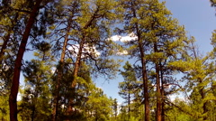 Stock Video Footage of Tall Pine Trees In The Coconino National Forest- Flagstaff AZ
