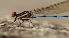 DragonflyBlue Dragonfly with Red Eyes - Handheld Camera. Stock Footage