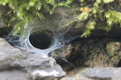 Funnel web in the uk, labyrinth spider Stock Photos