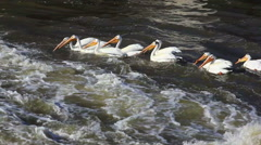 White Pelicans Team Fishing Together on Edge of Rapids Stock Footage