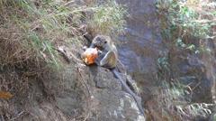 Monkey eating coconut and enjoying by the Ravana Falls in Ella, Sri Lanka. Stock Footage