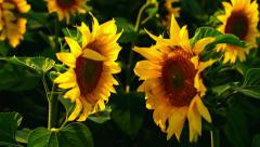 Two sunflowers facing each other in agricultural field Stock Footage