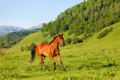 Beautiful bay horse of the arab breed to stand on a green meadow Stock Photos