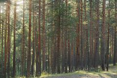 tranquil pine forest lanscape - stock photo