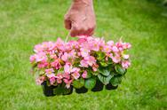 Stock Photo of hand holds container of pink blossom begonia in garden