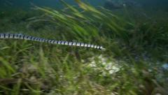 Banded sea snake (krait) hunting in seagrass Stock Footage