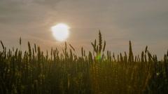 Wheat straws at sunset Stock Footage