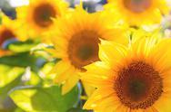Stock Photo of sunflowers