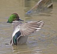 Male Falcated Duck, Anas falcata, displaying - stock photo