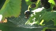 Stock Video Footage of Black Berries currants home macro web 4k