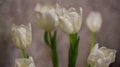 Stock Video Footage of Bouquet of White Tulips