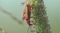 Soldier Insect  Beetle bug macro Stock Footage