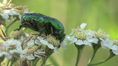 Flower chafers group of scarab beetles Stock Footage