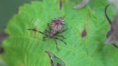Assassin bug beetle Shield bugs macro 4k Stock Footage