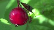 Stock Video Footage of Pentatomidae beetle in Berries currants home macro garden 4k