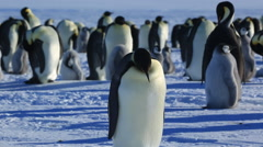 Emperor penguin (Aptenodytes fosteri) adult lies down on snow Stock Footage