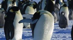 Emperor penguin (Aptenodytes fosteri) preening at colony Stock Footage
