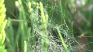 Stock Video Footage of Web of grass with dew drops macro 4k