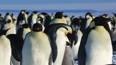 Emperor penguin (Aptenodytes fosteri) displaying adults Stock Footage