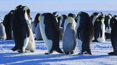 Emperor penguins (Aptenodytes fosteri) displaying adult Stock Footage