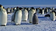 Emperor penguins (Aptenodytes fosteri) at colony, adult walks away Stock Footage