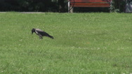 Raven full black colored looking on the ground, walking on park grass quietly Stock Footage