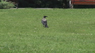 Black crow on green grass in park, moving alone, man feet stepping background Stock Footage