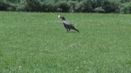 Raven having food in beak eating, grass background, bird wildlife, nature view Stock Footage