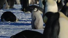 Emperor penguin (Aptenodytes fosteri) chick preening in colony Stock Footage