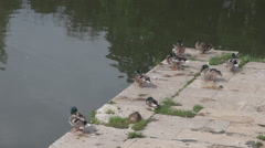 Green head ducks pecking their feathers sitting relaxed on lake shore water view Stock Footage