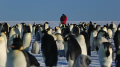 Emperor penguins at colony, Asian photographer behind - stock footage