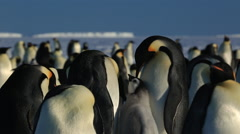 Emperor penguin pair at colony. Chick begs while adults display Stock Footage