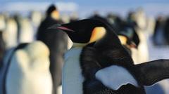 Emperor penguin (Aptenodytes fosteri) adult portrait Stock Footage