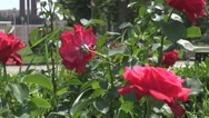 Closeup red roses bouquet in park, monument construction far away in background Stock Footage