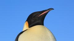 Emperor penguin (Aptenodytes fosteri) adult portrait then begins to walk Stock Footage