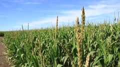 Wheat, Grain, Buckwheat in summer, Buenos Aires Stock Footage