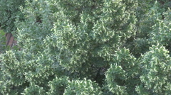 Lime tree and linden flowers seen by upside, interesting shot from building roof Stock Footage