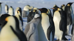 Emperor penguins at colony, chick begs persistently from adult Stock Footage