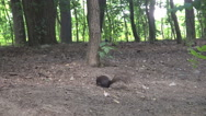 Steady shot, squirrel in natural habitat running, forest view, nature moments Stock Footage