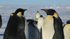 Emperor penguin colony, chick begging, adult displays as another adult moves in - stock footage