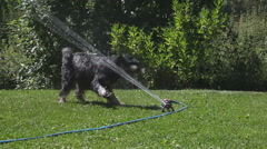 Very wet dog attacking water spinkler Stock Footage