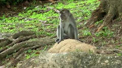 South Eeast Asia Brunei Bandar Seri Begawan monkey sits on a tree root Stock Footage