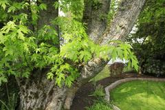 Green maple tree and large trunk. Stock Photos