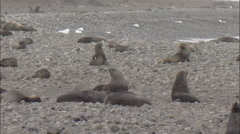 Antarctic fur seals (Arctocephalus gazella) colony loosely spread out on beach Stock Footage