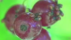 Aphids sets in Berries currants home macro garden 4k Stock Footage