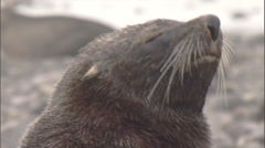 Antarctic fur seal (Arctocephalus gazella) portrait Stock Footage