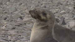 Antarctic fur seal (Arctocephalus gazella), juveniles play-fight Stock Footage