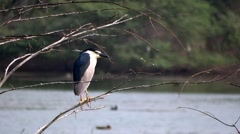 Black crowned night heron (Nycticorax nycticorax) Stock Footage