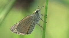 Butterfly Celastrina argiolus macro 4k Stock Footage