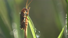 Soldier Insect  Beetle bug macro dewdrops Stock Footage